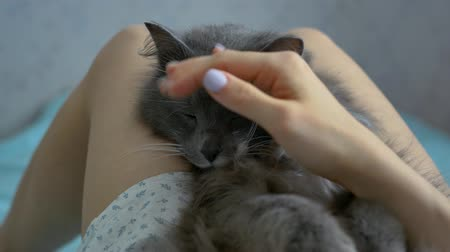 gray cat sleeps at the girl's legs. close-up Stock Footage