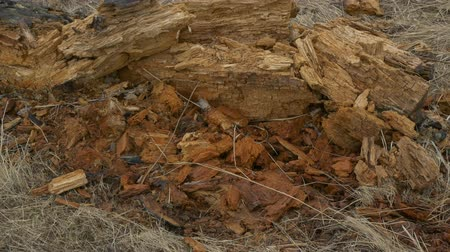 tree stump : An old fallen tree rotting on the ground. climate problems Stock Footage