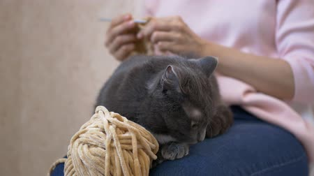 もつれた : A gray cat lies on her mistress's lap while she knits, a girl stroking a cat.