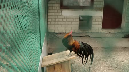 cockrel : Cock of the cage at the zoo