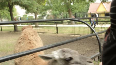 bronx : Tourists feed the young camel