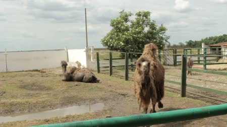 bronx : Two camels in the zoo.