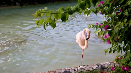 flamingi : One pink flamingo in a park pond. Wideo
