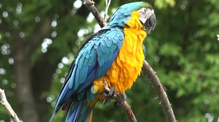 brezilya : Close up 4k shot of gracious beautiful neo tropical macaw genus colorful plumage ara parrot bird with long narrow tail