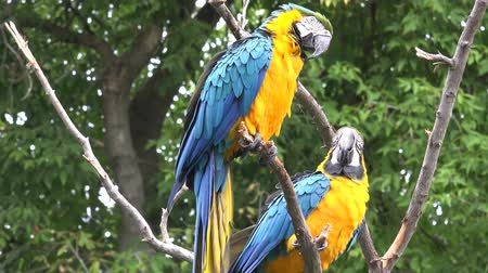 brezilya : Close up 4k shot of two beautiful neo tropical macaw genus colorful plumage ara parrot bird long narrow tail playing