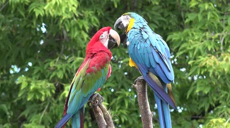 papuga : Two beautiful colorful plumage neo tropical macaw genus ara parrot bird long narrow tail playing in close up 4k shot Wideo