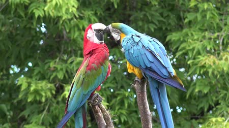 ara papagáj : Two beautiful neo tropical macaw genus colorful plumage ara parrot bird narrow long tail playing in 4k close up shot