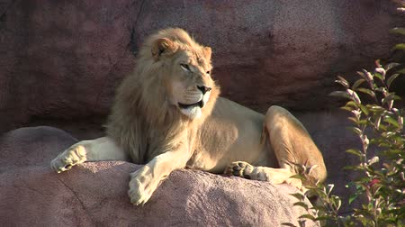 male animal : Male Lion Sitting on Rock