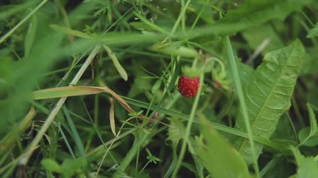 wildstrawberry : Berry in green strawberry grass Stock Footage