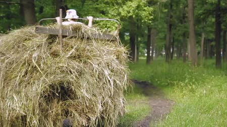 el arabası : Man carries a haystack through a forest on a scooter Stok Video