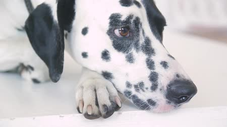 darling : close-up of a Dalmatian face in a photo studio Stock Footage