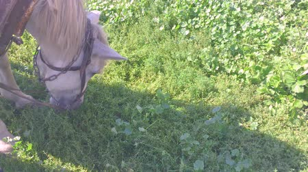 díszgomb : horse eating green juicy grass in the village