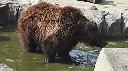 europeu : Brown bear looking for food in Kiev Zoo