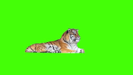 kaplan : Tired tiger lying on green screen.