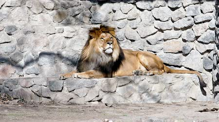 опасность : Lion resting in a zoo.