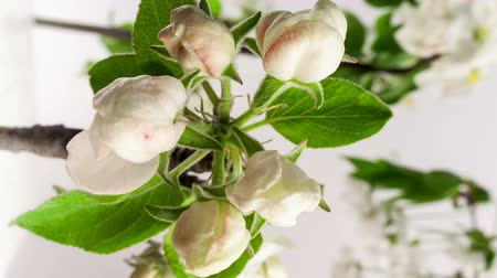 flower : Timelapse video of an apple flower blossoming