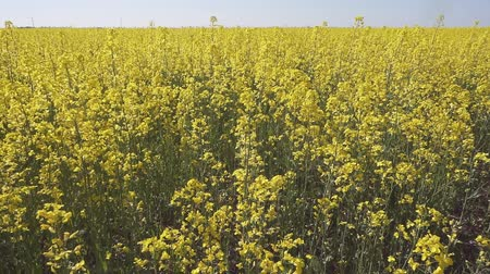 plain : Aerial view of a canola field on a sunny day Stock Footage