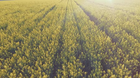 kanola : Agricultural field with blooming yellow rape. Aerial view Stok Video