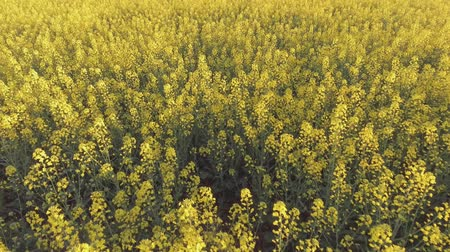 rapa : Agricultural field with blooming yellow rape. Aerial view Stock Footage