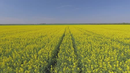 rapa : Agricultural field with blooming yellow rape, against the blue sky. Aerial view Stock Footage