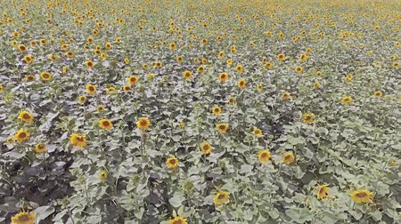 sunflower seed : AERIAL VIEW: Flight over a beautiful sunflower field