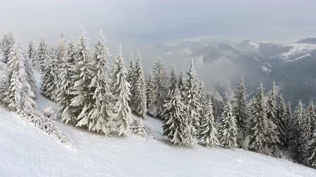 felling : Flying around a frozen very beautiful trees. Winter tale. Landscape to admire