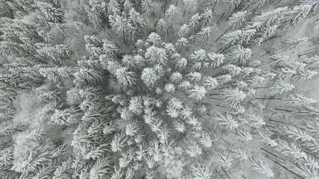 coldness : Winter landscape. Flying over trees covered with snow in the mountains.