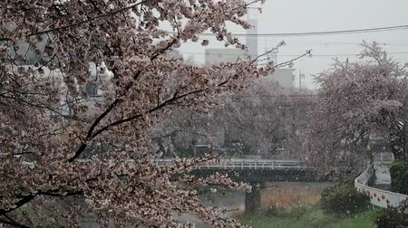 kanto district : Spring snow in Japan Stock Footage