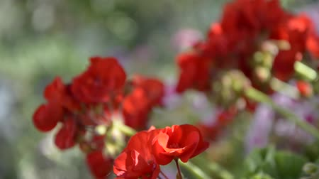 герань : Red geranium (focus change)