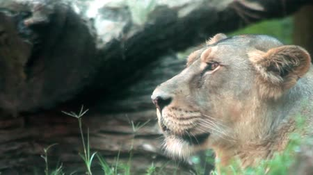gato selvagem : Video clip of female lion, side view shot.