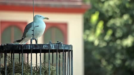argentatus : Video clip of seagull resting on a birds cage in the park.
