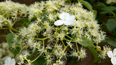 ortanca : Inflorescence of Hydrangea petiolaris, known as climbing hydrangea with small fertile flowers surrounded by showy white sterile ones.