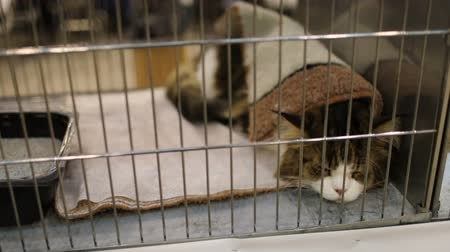 coon : Cute Maine Coon cat resting inside cage during feline show.