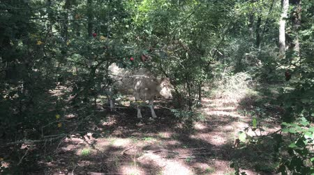 kráva : Cow scratching its back to a tree in the forest.