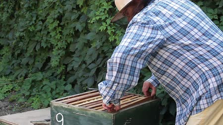 улей : Beekeeper woman inspecting frames inside the beehave.