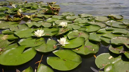 leknín : Water lilies in bloom on a lake in august.