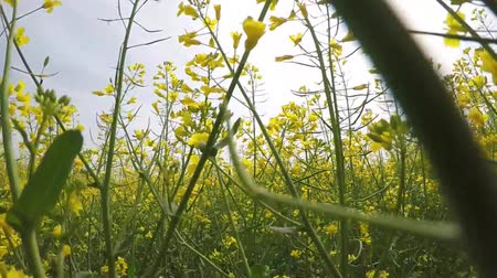 kolza tohumu : Walking in a flowering rapeseed field, shooting close up, from a low point, among the plants. Stok Video