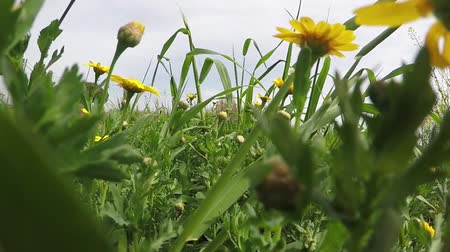 uncultivated field : Walking in a field with yellow daisies, shooting close up, from a low point, among the plants.