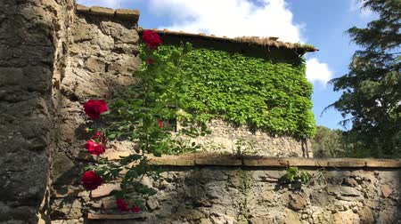 rosebush : Red climbing rose and ivy on old walls in the countryside.