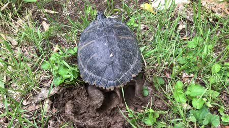 scripta : Yellow ears turtle (Trachemys scripta scripta) laying eggs in a whole in the ground.