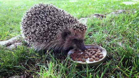 erinaceidae : Hungry hedgehog eating cat food from a bowl in the back yard.