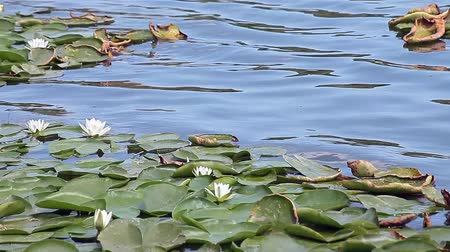 leknín : European white water lilies (Nymphaea alba),  in their natural environment.