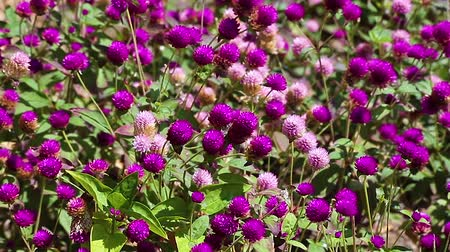 Flowerbed with globe amaranth (Gomphrena globosa), an edible plant from the family Amaranthaceae with round-shaped flower inflorescences.