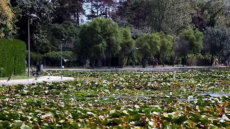 Pond with waterlilies and seagulls flying, Neptun, Romania. Stock Footage