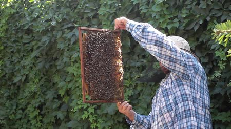 Senior woman beekeeper taking out from the hive and inspecting a frame full of bees.