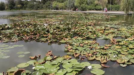View of small lake with water lilies in Neptun on the Black Sea Coast, Romania. Stock Footage