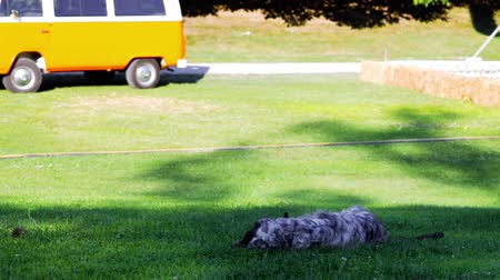 English Setter playing and lying on the grass. Stock Footage