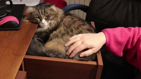 caresses : Funny Siberian cat sleeping inside the desk drawer and enjoying the caresses and cuddles Stock Footage
