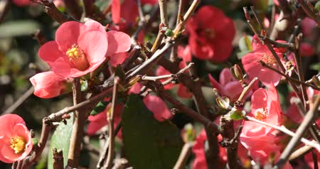 dikenli : Bush of Japanese quince Chaenomeles japonica a thorny deciduous shrub that is commonly cultivated - Decorative plants for the garden