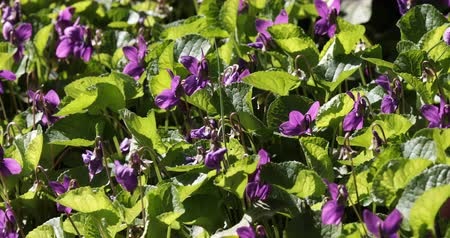 Bed of fresh violets Viola odorata in a garden in March. Stock Footage
